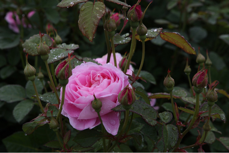 Rosa inglese assisi for Rosa in inglese